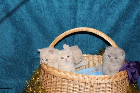 Home trained scottish fold kittens available