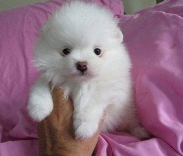 Cute And Charming Pomeranian Pups Available