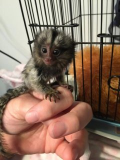 Marmoset Monkeys Available