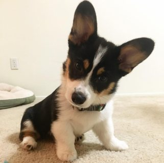 Cdfr Pembroke-welsh-corgi Puppies For adoption