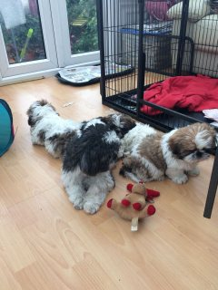 Gorgeous Shih TzuShih Tzu Puppies For Sale