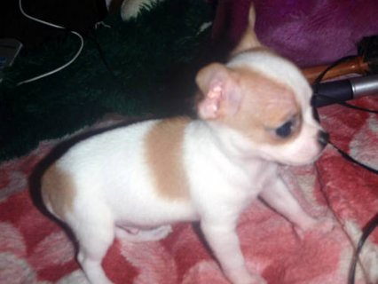 Tiny Chihuahua Puppies fir  sale