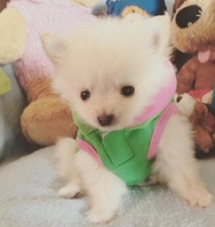 Beautifull pomeranian puppies  Ready for a new family