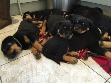 Two Gorgeous, quality AKC Rottweiler puppiesfor sale