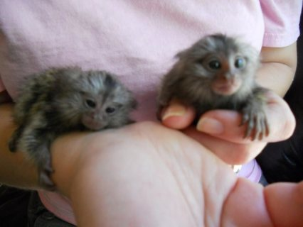 Male and Female Marmoset Monkeys Available