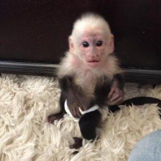 Cute male and female Capuchin Monkeys For sale