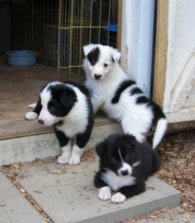 Cute Border Collie pups for sale