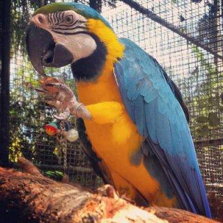 Amazon parrots for Sale