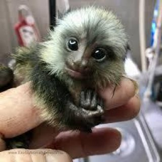 Marmoset  Monkeys For sale
