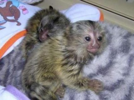 Lovely Marmoset  Monkeys For sale