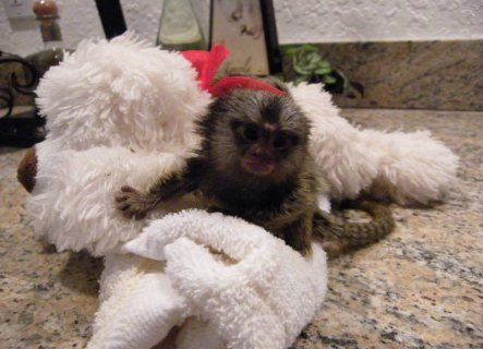 Well trained hand raised marmoset monkey available for home