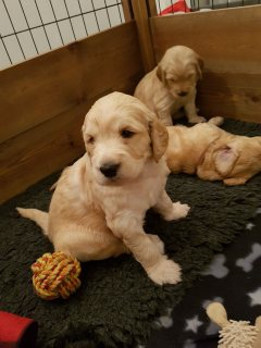 Charming Goldendoodle puppies available for sale