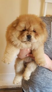 Lovely Chow Chow Puppies For Sale