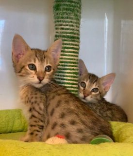Lovely Savannah male and female Kittens available