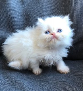 Persian cute white Kittens for adoption