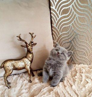 Bsh Blue Gccf Pedigree Braveheart Kittens