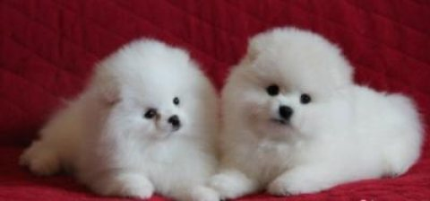 Charming Teacup Pomeranian Puppies for Sale