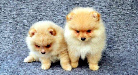 وب من الجراء كلب صغير طويل الشعر الأبيض الحلو المتاحة.