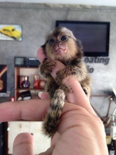 الساحرة الوجه مارموسيت القرد للبيع