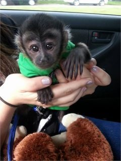 أصح كابوتشين الطفل القرد المتاحة