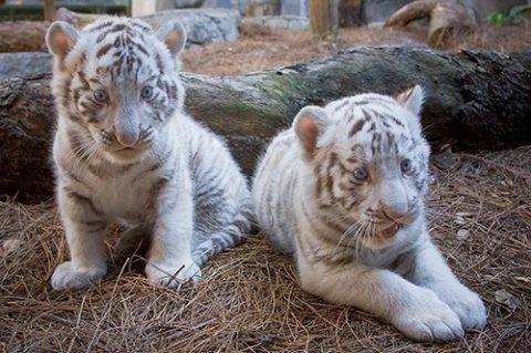 رائعتين النمر الأشبال المتاحة