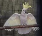 cockatoo parrots birds