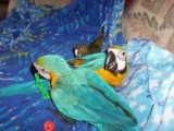 Talking Blue and Gold Macaw Parrots2