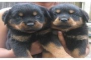 A.K.C Rottweiler Puppies Available for adoption