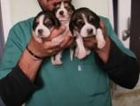 كلاب بيغل للبيع