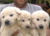 كلاب كباش التركي