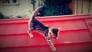 noble bengal kitten