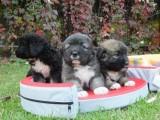 كلاب قفقازي للبيع