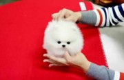 Adorable Male And Female Tea cup Pomeranian puppies Out for New
