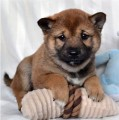 Fantastic Shiba Inu Puppies Available