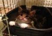 Siberian Kittens - Progeny of champions