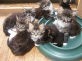 Gccf Registered Maine Coon Kittens