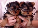 Purebred Yorkie Puppies