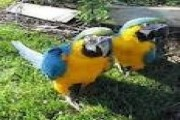 Baby Blue And Gold Macaws For Sale 16 Weeks Old