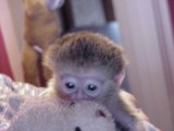 2 Outstanding Capuchin Monkeys $500.00  They are 4 months old an