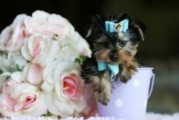 teacup Adorable Baby face Male and Female Yorkshire Terrier