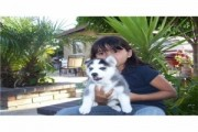 3 Cute And Adorable Babies Black An White Siberian Husky Puppies