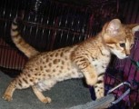 F1 Savannah kittens available for adoption- Super Spotted
