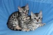 amazing bengal kitten for adoption