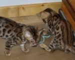 Two male and female F2 Savannah kittens available. , vet che