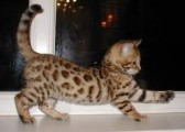 Bengal kittens for adoption.