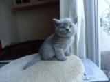 Cute British Blue Shorthair kittens