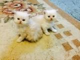 Beautiful litter of Persian Kittens READY
