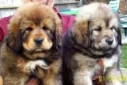 Tibetan mastiff Puppies for adoption(rare)