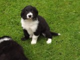 Border Collie Puppies Available!!!