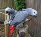 18 months old African Grey Parrots